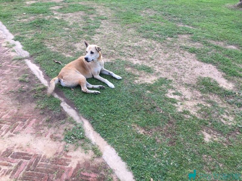 アユタヤの犬